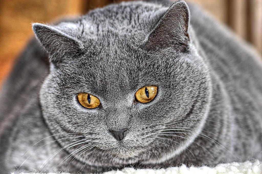 obesidad felina