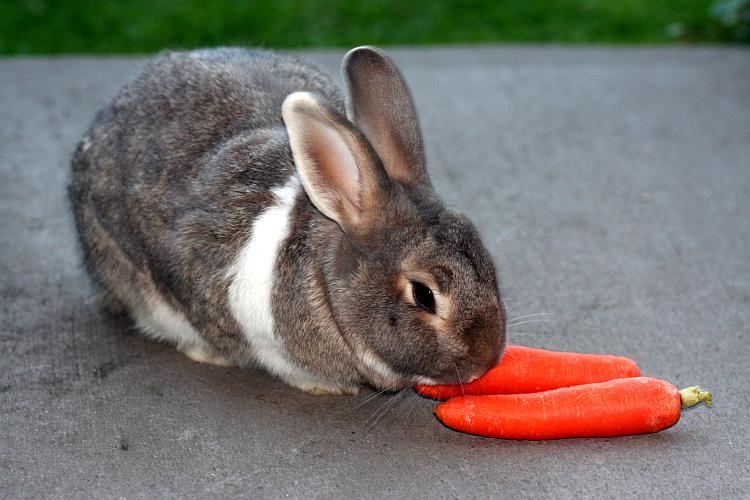 comida conejo