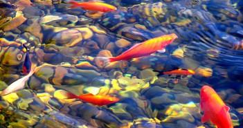 koi estanque