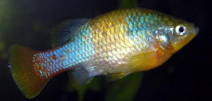 Xenotoca eiseni, una alternativa resistente para los acuarios