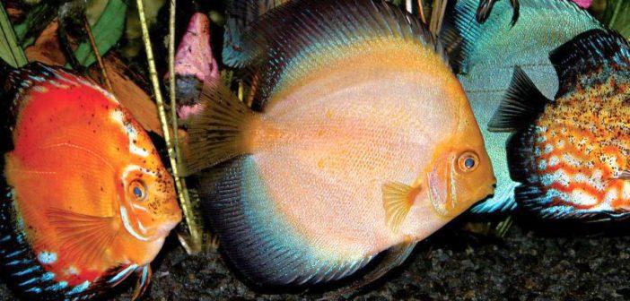 Una aproximación a los peces disco