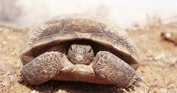 Hibernación en tortugas terrestres