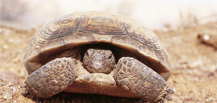 La hibernación en tortugas terrestres