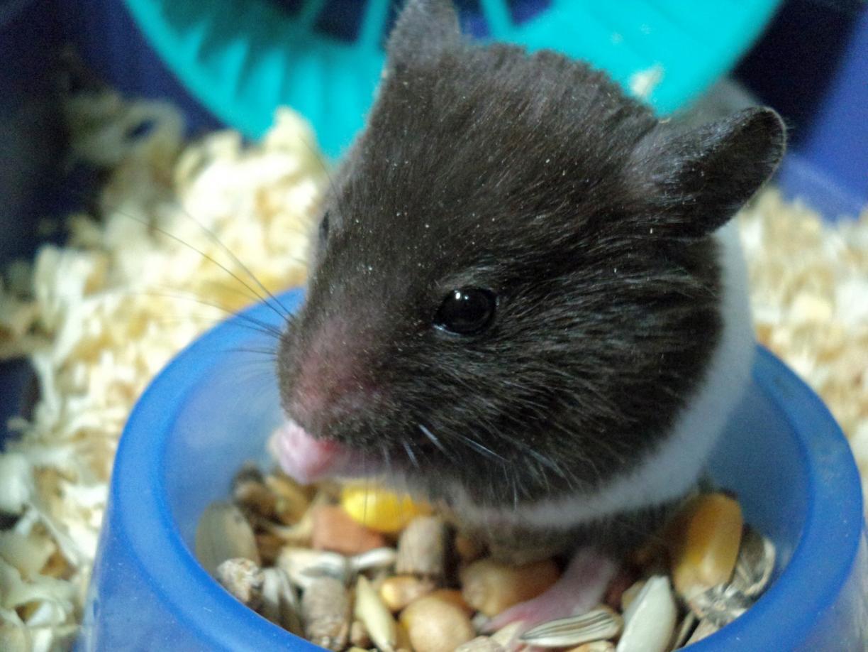 hamster alimentacion