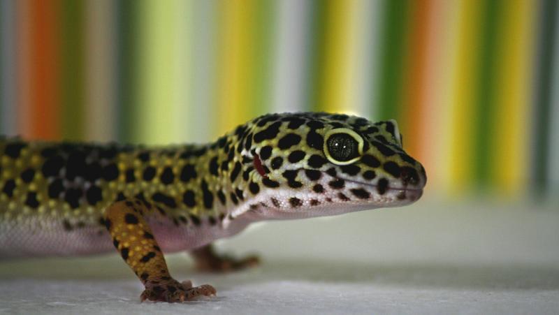 reproduccion reptiles gecko