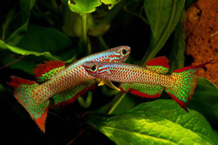 Introducci n al mundo de los killis for Peces para acuarios pequenos