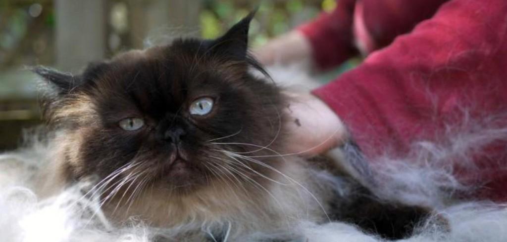 gato peluquería