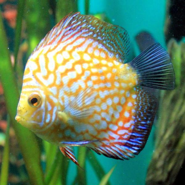 Conocer el g nero symphysodon spp los peces disco for Pesce discus