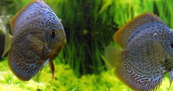 Symphysodon spp., los peces Disco