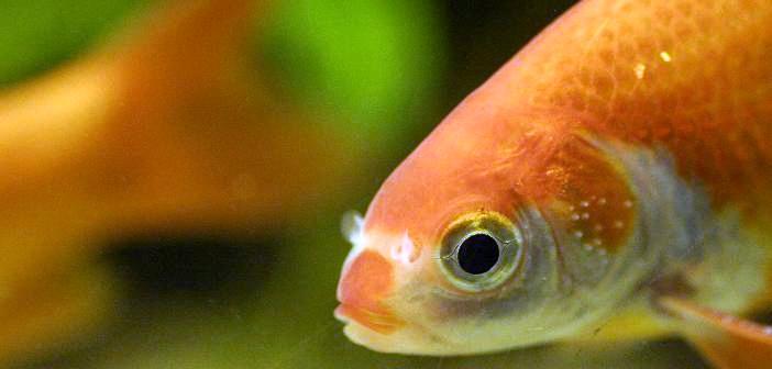 peces acuarios