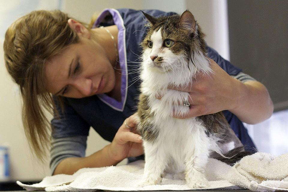 Claves para el cuidado del pelo en los gatos