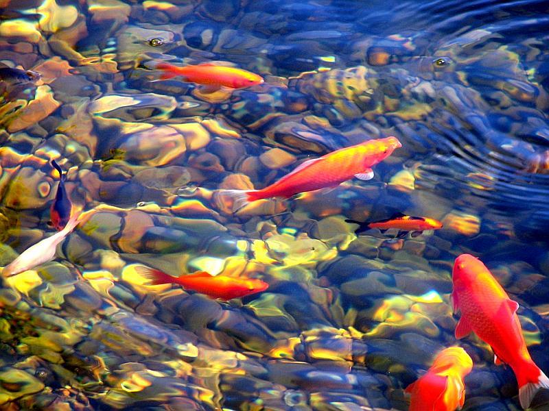 La primavera y los cambios de temperatura de los estanques for Filtro estanque koi