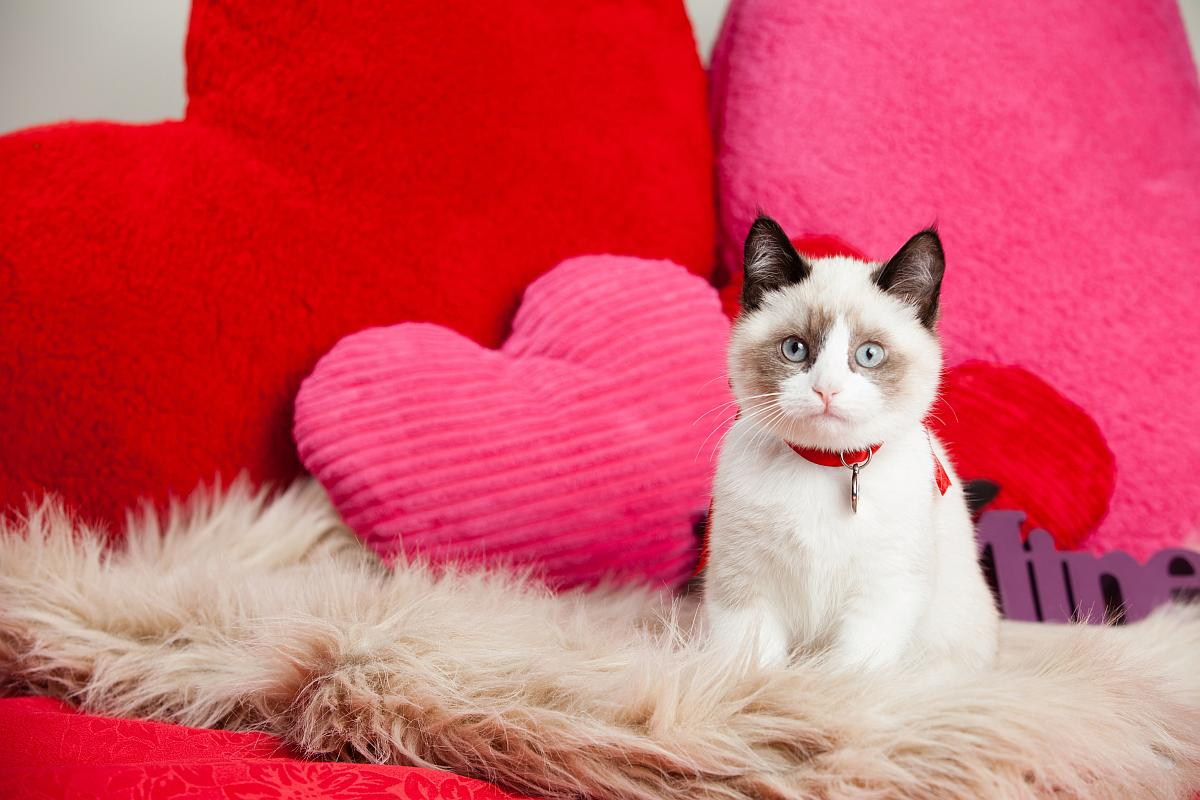 san valentin gato