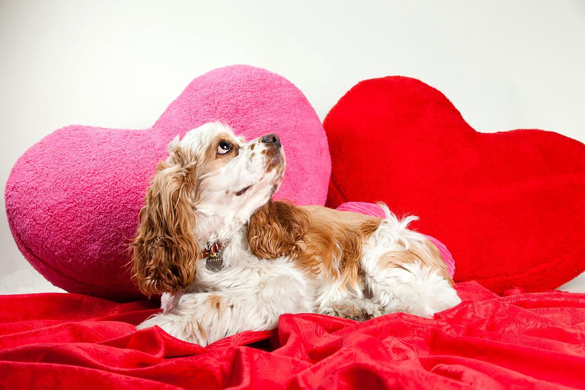 san valentin perro