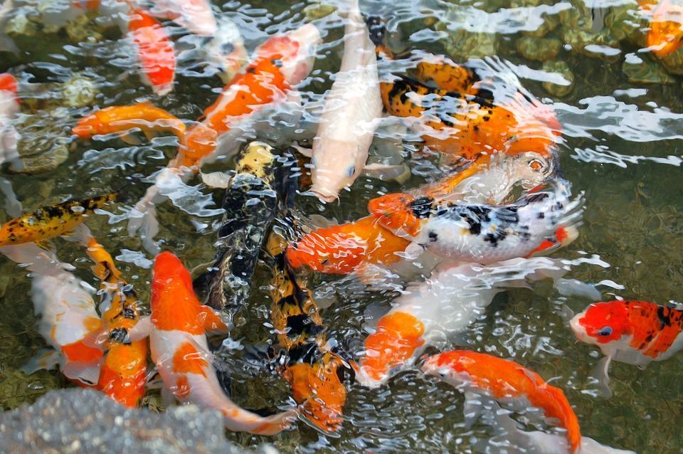 La carpa koi a la espera especiespro publicaci n para for Carpas estanque