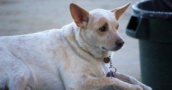 Cinco preguntas (con respuesta) sobre obesidad canina