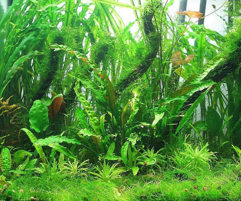 plantas de acuario Cryptocoryne