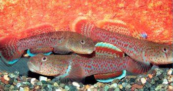 Gobios de agua dulce, más de 25 especies para el acuario