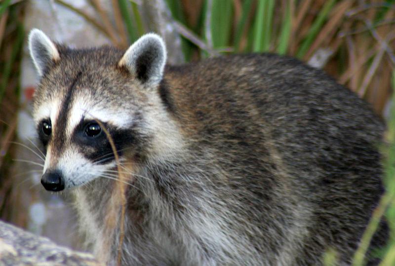 mapache-especie-exotica-invasora
