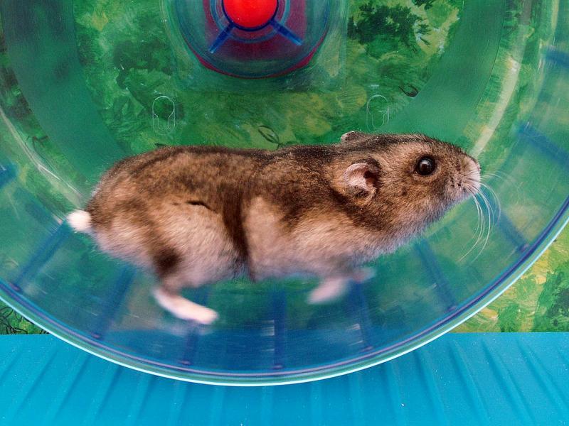 rueda-hamster
