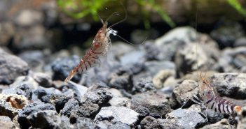 Invertebrados en acuariofilia