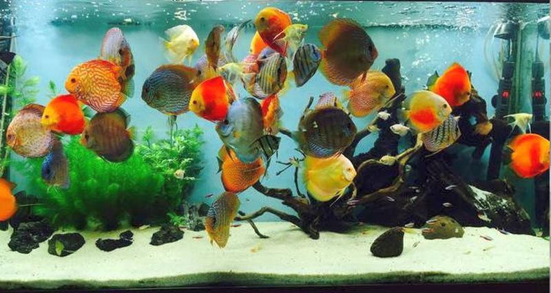 peces-disco