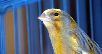 Consejos básicos para el mantenimiento de canarios