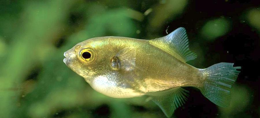 Algunas especies de pez globo de agua dulce para tu comercio for Especies de peces