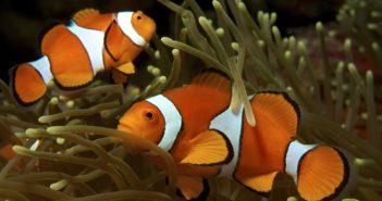 Amphiprion ocellaris. Una de las especies con las que poblar un acuario de arrecife