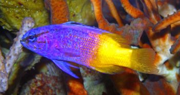 10 especies apropiadas para poblar un acuario de arrecife: Gramma loreto