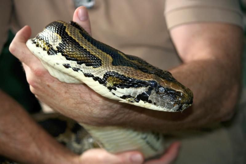 reproduccion reptiles piton