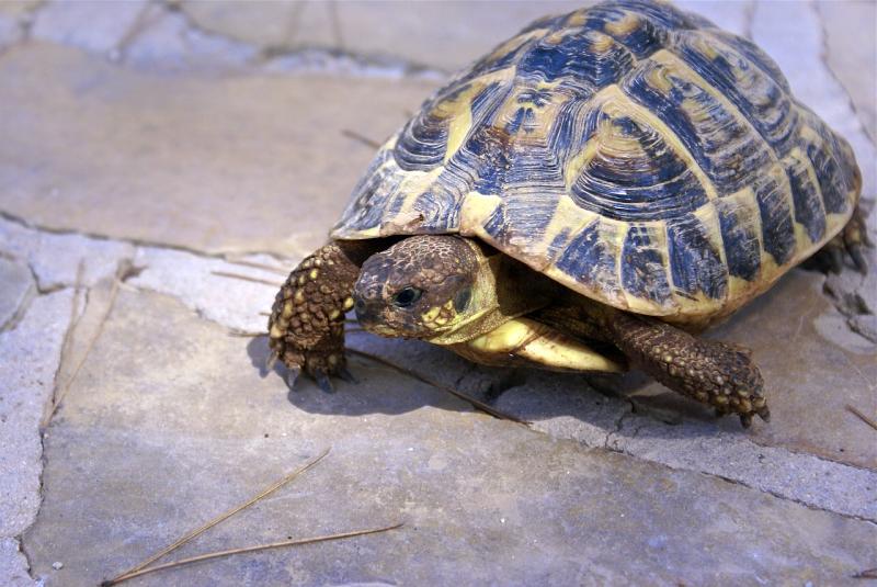 reproduccion reptiles tortuga