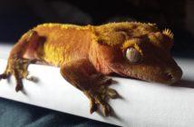 Geckos: características, hábitats y alimentación