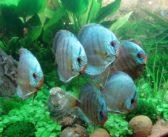 ¿Conoces las principales variedades de Pez Disco azul sólido?