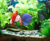 Cambios de aguaen peces Disco