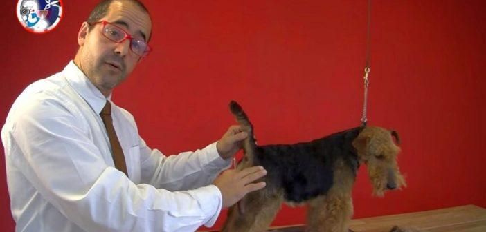 El cuidado del pelo del Welsh Terrier en la peluquería