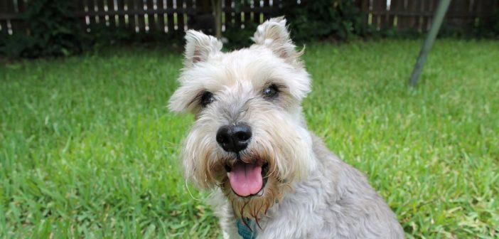 ¿Por qué están tan de moda los perros de razas pequeñas?