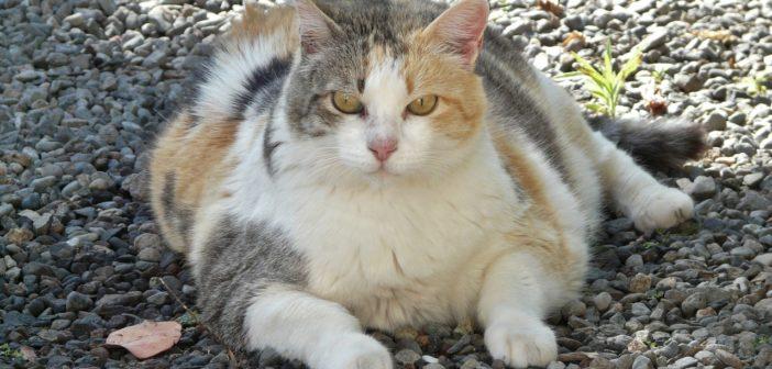 Las mascotas están cada vez más gordas