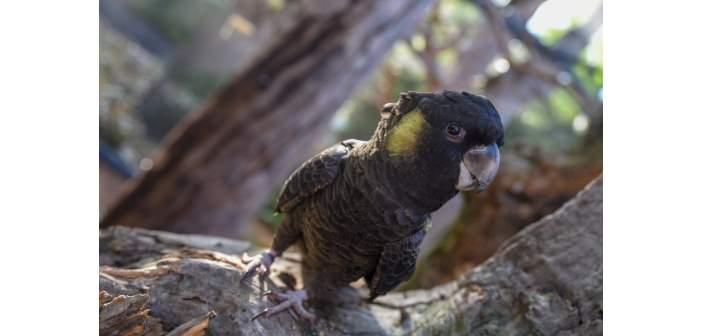 Loro Parque exhibe todas las especies de cacatúas del mundo