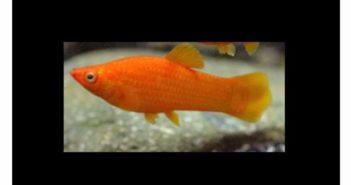 Un pez en la clínica veterinaria