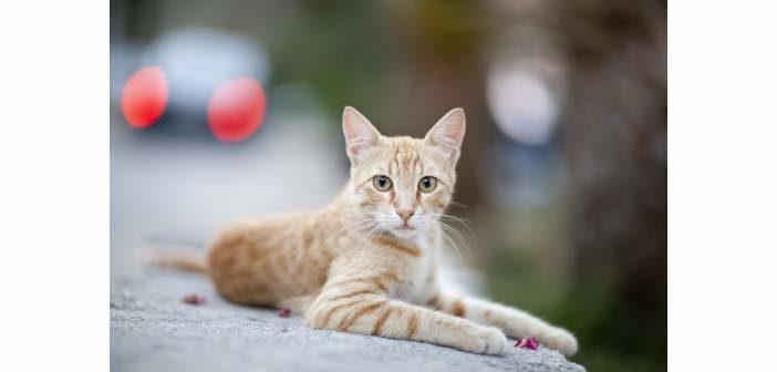 Cuáles son los signos del hipertiroidismo en gatos