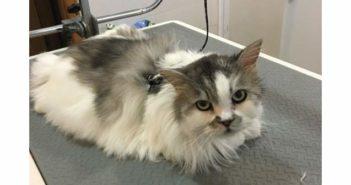 ¿Es necesario que los gatos acudan a la peluquería?