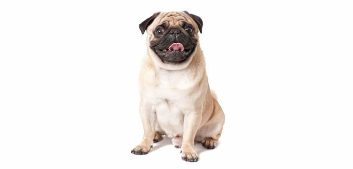 Obesidad de las mascotas en México